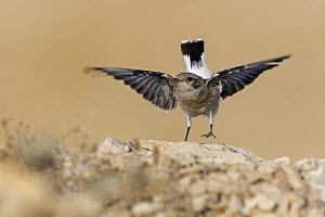 Mourning Wheatear (Oenanthe lugens) juvenile spreading wings, Israel  -  Mathias Schaef/ BIA