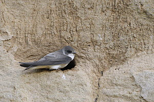 Sand Martin (Riparia riparia) at nest cavity, North Rhine-Westphalia, Germany - Ralf Kistowski/ BIA