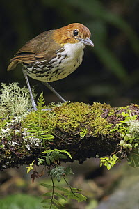 Chestnut-crowned Antpitta (Grallaria ruficapilla), Andes, Colombia  -  Glenn Bartley/ BIA