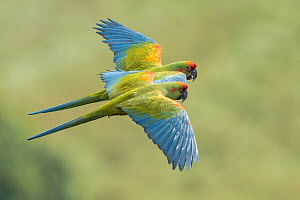 Red-fronted Macaw (Ara rubrogenys) pair flying, Bolivia  -  Johannes Melchers/ BIA