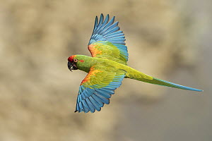 Red-fronted Macaw (Ara rubrogenys) flying, Bolivia  -  Johannes Melchers/ BIA