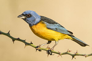 Blue And Yellow Tanager (Thraupis bonariensis) male, Bolivia  -  Johannes Melchers/ BIA
