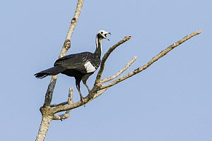 Blue-throated Piping-Guan (Pipile cumanensis) calling, Bolivia  -  Johannes Melchers/ BIA