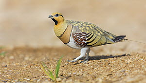 Pin-tailed Sandgrouse (Pterocles alchata) male, Israel  -  Mathias Schaef/ BIA
