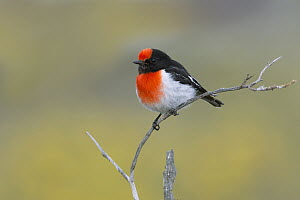 Red-capped Robin (Petroica goodenovii) male, South Australia, Australia - Rob Drummond/ BIA