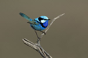 Splendid Fairywren (Malurus splendens) male, South Australia, Australia  -  Rob Drummond/ BIA