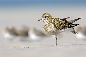 Golden Plover (Pluvialis apricaria) stretching on beach, Schleswig-Holstein, Germany  -  Thomas Hinsche/ BIA