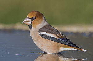 Hawfinch (Coccothraustes coccothraustes) male at waterhole, Aosta Valley, Italy  -  Alain Ghignone/ BIA