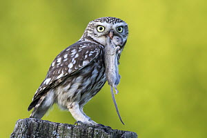 Little Owl (Athene noctua) with mouse prey, Schleswig-Holstein, Germany  -  Holger Duty/ BIA