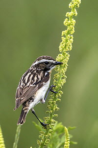 Whinchat (Saxicola rubetra) male, Mecklenburg-Vorpommern, Germany  -  Holger Duty/ BIA