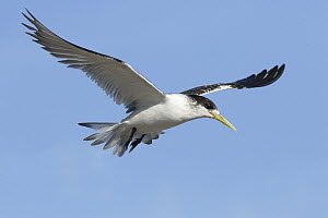 Greater Crested Tern (Thalasseus bergii) juvenile flying, Victoria, Australia - Rob Drummond/ BIA