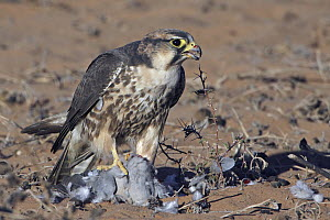 Lanner Falcon (Falco biarmicus) with bird prey, Northern Cape, South Africa - Jochen Gerlach/ BIA
