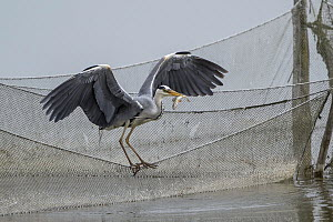 Grey Heron (Ardea cinerea) with fish from fishing net, Mecklenburg-Vorpommern, Germany  -  Holger Duty/ BIA