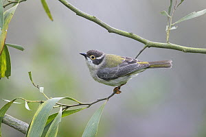 Brown-headed Honeyeater (Melithreptus brevirostris), Victoria, Australia - Rob Drummond/ BIA