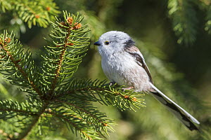 Long-tailed Tit (Aegithalos caudatus), Mecklenburg-Vorpommern, Germany  -  Holger Duty/ BIA