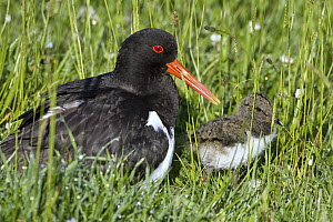 Eurasian Oystercatcher (Haematopus ostralegus) parent with chick, Texel, Netherlands  -  Holger Duty/ BIA