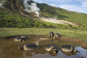 Volcan Alcedo Giant Tortoise (Chelonoidis nigra vandenburghi) group wallowing in seasonal pond, Alcedo Volcano, Isabela Island, Galapagos Islands, Ecuador - Tui De Roy