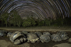 Volcan Alcedo Giant Tortoise (Chelonoidis nigra vandenburghi) group wallowing in mud at night, Alcedo Volcano, Isabela Island, Galapagos Islands, Ecuador  -  Tui De Roy