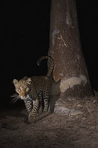 Leopard (Panthera pardus) female at scent-marking spray-tree at night, Kafue National Park, Zambia - Sebastian Kennerknecht