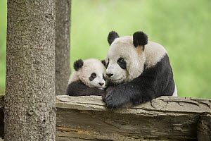 Giant Panda (Ailuropoda melanoleuca) mother and young, Wolong Nature Reserve, Sichuan, China - Katherine Feng