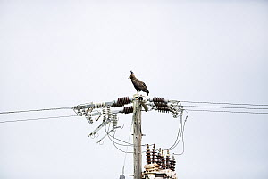 Long-crested Eagle (Lophaetus occipitalis) on powerlines, Garden Route National Park, Western Cape, South Africa - Richard Du Toit