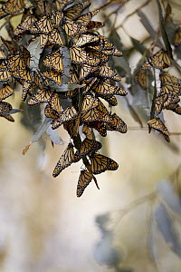 Monarch (Danaus plexippus) group wintering, Pismo Beach, California  -  Jaymi Heimbuch