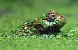 Giant Fire-bellied Toad (Bombina maxima) emerging from pond weed, native to China  -  Heidi & Hans-Juergen Koch