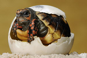 Red-footed Tortoise (Geochelone carbonaria) hatching, native to South America  -  Heidi & Hans-Juergen Koch