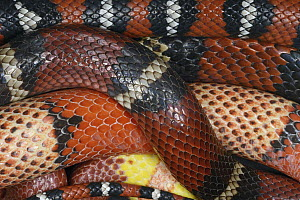Kingsnake (Lampropeltis sp) group with different colorations, native to North America  -  Heidi & Hans-Juergen Koch