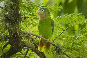 Yellow-billed Parrot (Amazona collaria), Jamaica  -  Kevin Schafer