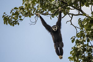 White-handed Gibbon (Hylobates lar) calling while hanging in tree, Kaeng Krachan National Park, Thailand - Sean Crane