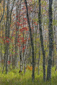 Birch (Betula sp) and Red Maple (Acer rubrum) trees in autumn, Acadia National Park, Maine  -  Jeff Foott