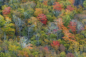 Deciduous forest in autumn, Acadia National Park, Maine - Jeff Foott