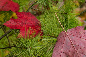 Red Maple (Acer rubrum) leaves in autumn, Acadia National Park, Maine  -  Jeff Foott