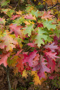 Northern Red Oak (Quercus rubra) leaves in autumn, Acadia National Park, Maine - Jeff Foott
