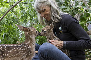 Mule Deer (Odocoileus hemionus) conservationist, Diane Nicholas, holding scared three day old orphaned fawn, while greeting from sibling fawn provides comfort, Kindred Spirits Fawn Rescue, Loomis, Cal...  -  Suzi Eszterhas