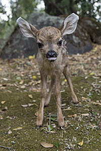 Mule Deer (Odocoileus hemionus) one day old orphaned fawn learning how to walk, Kindred Spirits Fawn Rescue, Loomis, California  -  Suzi Eszterhas