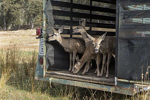 Mule Deer (Odocoileus hemionus) four month olds being released after being rehabilitated by Kindred Spirits Fawn Rescue, Grass Valley, California  -  Suzi Eszterhas
