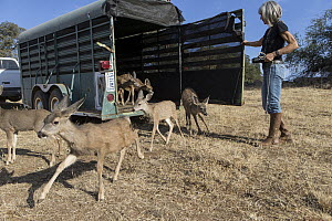 Mule Deer (Odocoileus hemionus) conservationist, Diane Nicholas, releasing four month olds after being rehabilitated by Kindred Spirits Fawn Rescue, Grass Valley, California  -  Suzi Eszterhas