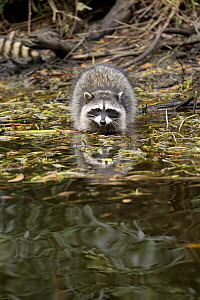 Raccoon (Procyon lotor) juvenile in water, San Francisco, Bay Area, California  -  Jaymi Heimbuch