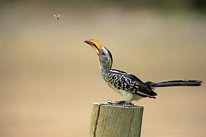 Southern Yellow-billed Hornbill (Tockus leucomelas) hunting flying insect, Kruger National Park, South Africa  -  Juergen & Christine Sohns