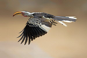 Southern Yellow-billed Hornbill (Tockus leucomelas) flying, Kruger National Park, South Africa  -  Juergen & Christine Sohns