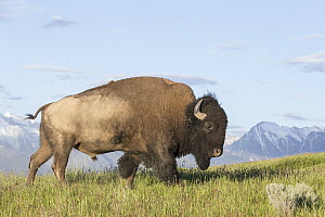 American Bison (Bison bison) bull, National Bison Range, Montana - Donald M. Jones