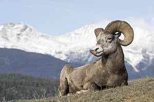 Bighorn Sheep (Ovis canadensis) ram, western Canada - Donald M. Jones
