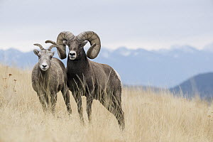 Bighorn Sheep (Ovis canadensis) ewe and ram, western Montana - Donald M. Jones