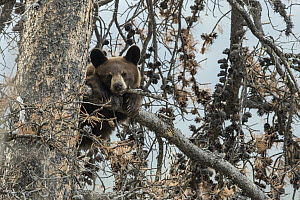 Black Bear (Ursus americanus) cub in tree, western Canada - Donald M. Jones