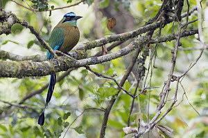 Blue-crowned Motmot (Momotus momota), Costa Rica  -  Donald M. Jones