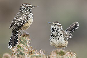 Cactus Wren (Campylorhynchus brunneicapillus) pair with one calling, southwestern Arizona  -  Donald M. Jones