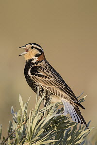 Chestnut-collared Longspur (Calcarius ornatus) calling, Harlem, Montana  -  Donald M. Jones