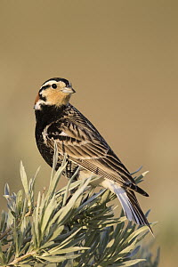 Chestnut-collared Longspur (Calcarius ornatus), Harlem, Montana  -  Donald M. Jones